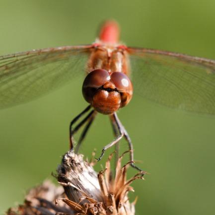 Ruddy Darter dragonfly (Sympetrum sanguineum), East Anglia
