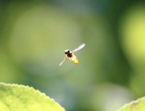 Hoverfly, Brittany