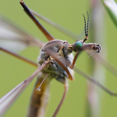 Tipula vinalis cranefly, Lake District