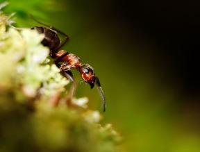 Wood Ant (Formica rufa), Lake District