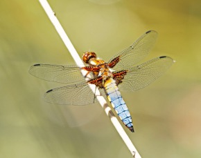 Broad-Bodied Chaser dragonfly (Libellula depressa), Brittany