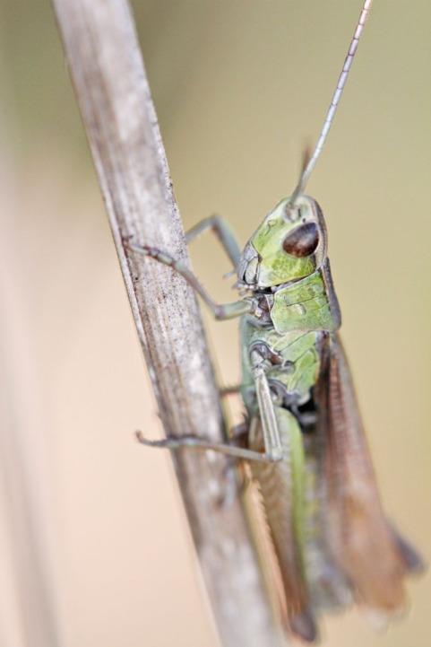 Grasshopper, East Anglia