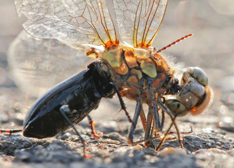 Beetle eating roadkill dragonfly, East Anglia