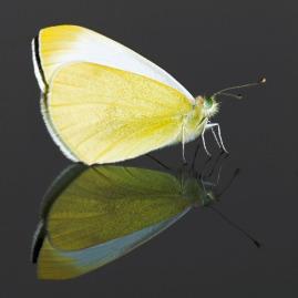 Male Small White butterfly (Pieris rapae), London