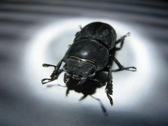 Female Stag Beetle, London