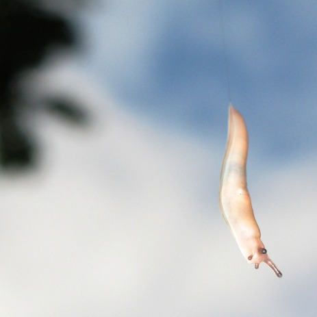 Slug abseiling from tree, Northampton
