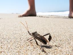 Shield bug, Half Moon Bay, California