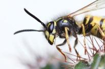 Wasp on cactus, London