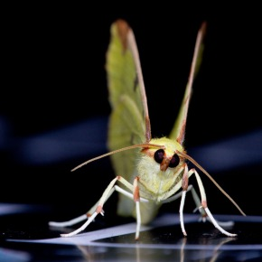 Brimstone Moth (Opisthograptis luteolata), London