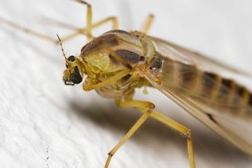 Mosquito, London