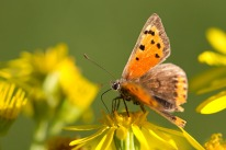 Small Copper (Lycaena phlaeas), Farthing Downs