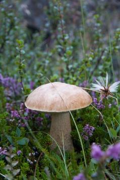 Icelandic mushroom.